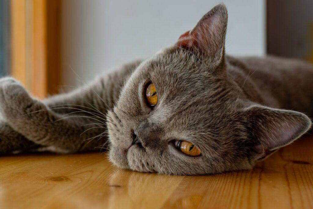 nodi gatto