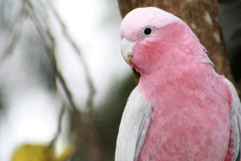 cacatua rosa