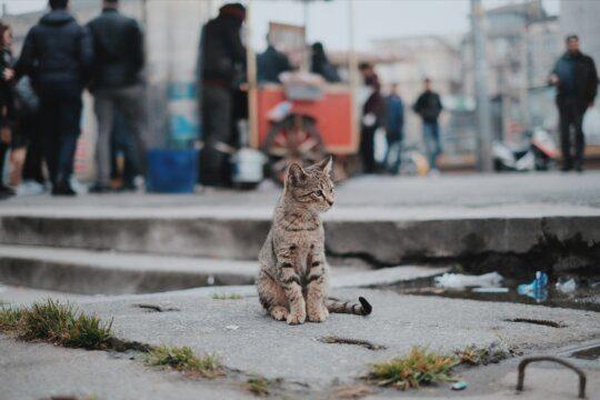 gatto porcellino d'india