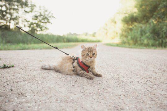 gatto collare